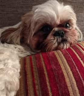 Shih Tzu laying on sofa