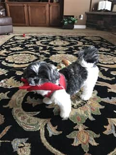 Shih Tzu mouthing toy