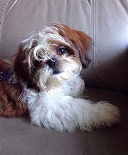 Shih tzu not barking