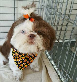 Adorable Shih Tzu Hair Styles