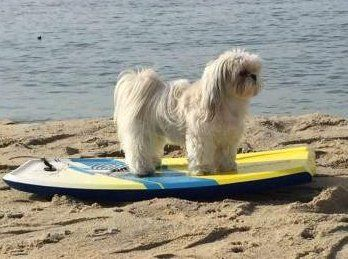 Shih Tzu on surf board
