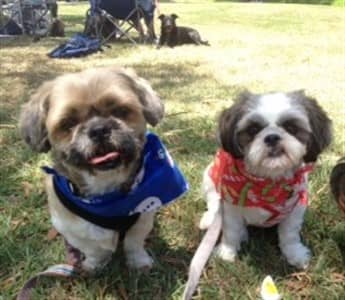 Shih Tzu dogs outside