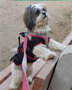 Shih Tzu Dangers and Risks at Grooming Salons