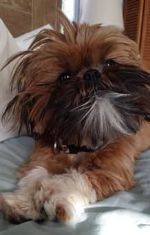 Shih Tzu puppy 7 months old
