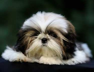 close up of a Shih Tzu puppy
