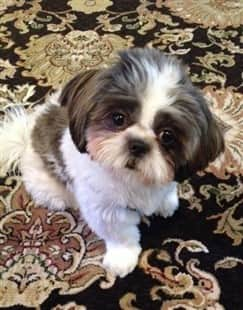 shih-tzu-puppy-on-rug