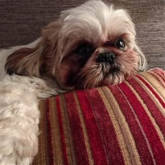 shih-tzu-relaxing