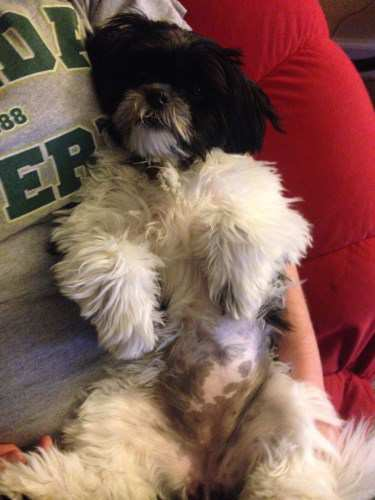 Shih tzu showing her belly