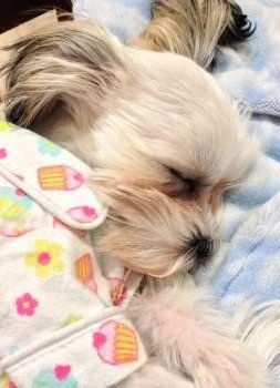 Shih Tzu puppy sleeping on pillow