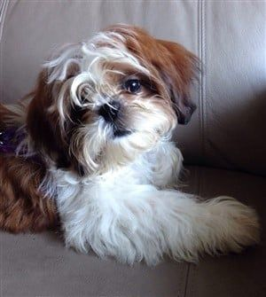 shih-tzu-soft-coat