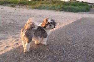 Shih Tzu tail curls over back