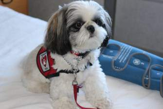 Shih Tzu therapy dog at hospital