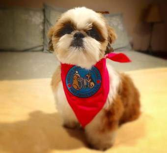 Shih Tzu Therapy Dog - Male