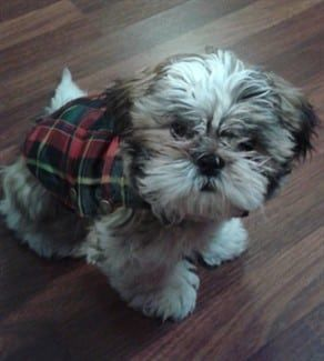 shih-tzu-wearing-coat