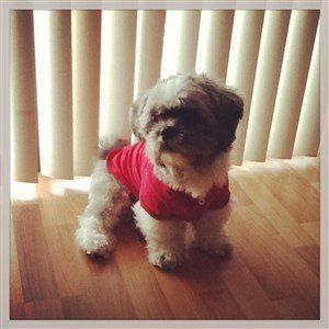 Shih Tzu wearing shirt, red