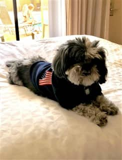 Shih Tzu with American flag shirt
