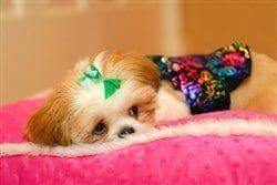 shih-tzu-with-colorful-clothes