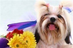 shih-tzu-with-flowers