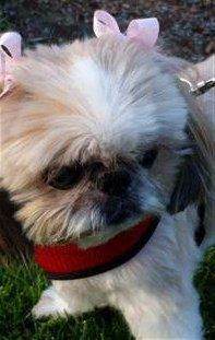 Shih Tzu with harness on