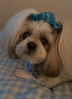 shihtzu-with-blue-bow