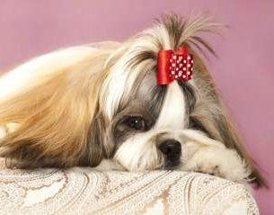 Shih Tzu with long coat