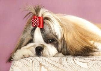 Shih Tzu looking shy