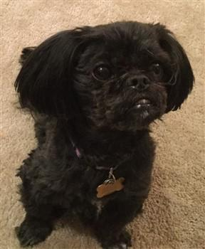 solid-black-shih-tzu-example-3