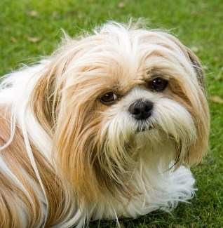 Shih Tzu in the summer time