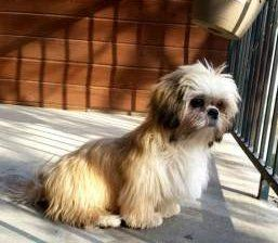 Shih Tzu sitting on patio