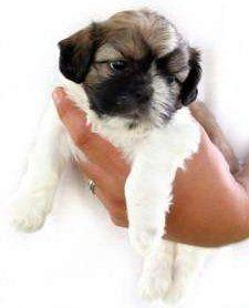 tiny Shih Tzu puppy