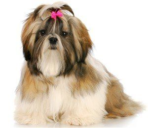 tri color shih tzu female