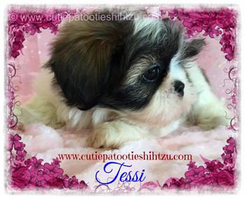 tri-color-shih-tzu-puppy-05