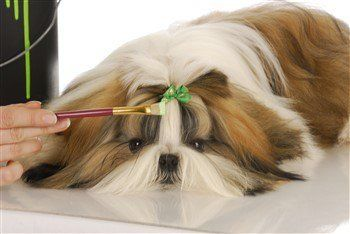tri-colored-shih-tzu-male.