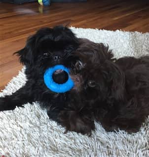Two male Shih Tzu dogs with toy