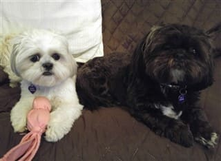 Two Shih Tzu dogs, one white, one black