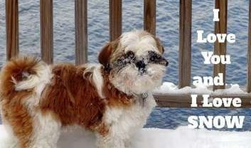 Shih Tzu playing in snow