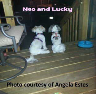 two Shih Tzu outside on patio