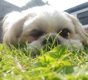 Shih tzu outside on summer grass