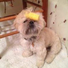 Shih tzu with curler in hair