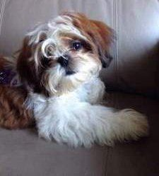 brown and white Shih Tzu