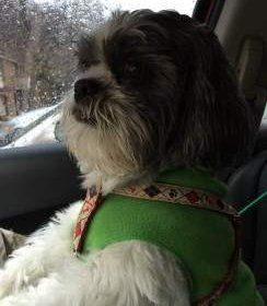 Shih Tzu in car