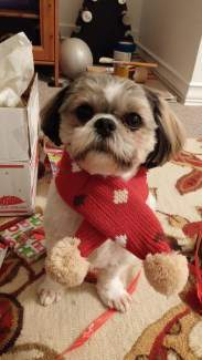 Shih tzu with scarf