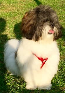 Very fluffy Shih Tzu, outside on grass