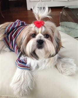 well-groomed-shih-tzu