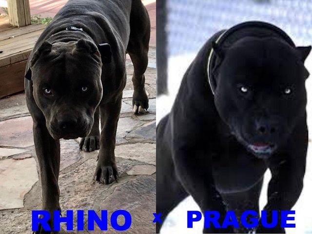 Breedings | XL Pitbulls | Puppies For Sale