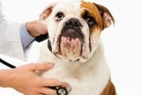 A dog receiving professional vet services in Middletown, NY