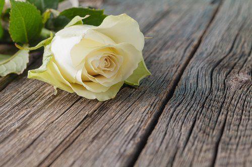 rosa  bianca su una bara