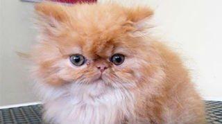 Un gattino persiano