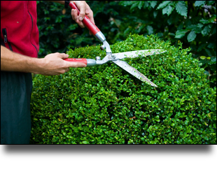 Man trimming a topiary bush with gardening shears