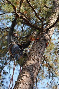 Tree Trimming Little Rock